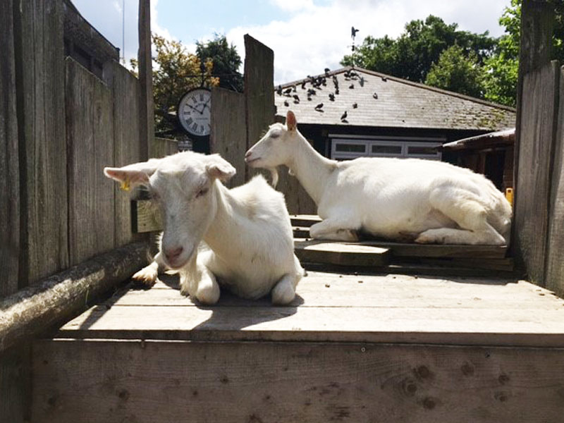Tintagel House – The Legacy of Goats